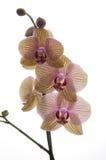 Un brach fleuri des orchidées et du romance Photos libres de droits