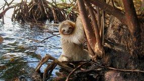 Un bradipo al disopra della superficie nella mangrovia immagini stock