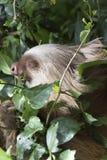 Un bradipo di due dita del piede Immagine Stock