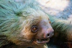 Un bradipo di due dita del piede Immagini Stock