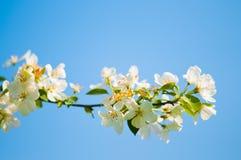 Un branchement de floraison de pommier Photos stock