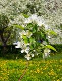 Un branchement des fleurs de pomme Photos stock