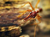 Un brevinoda gigante del Myrmecia de la hormiga de dogo Fotos de archivo