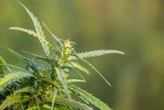 Un brin de cannabis avec des graines, et belles feuilles vertes images libres de droits