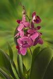 Un brin des fleurs d'orchidée Image stock