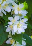 Un brin des fleurs de jasmin image stock
