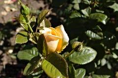 Un brote de una rosa blanca rodeada por los prospectos foto de archivo libre de regalías