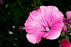 Un brote floreciente con pétalos rosados brillantes y un núcleo con las semillas blancas Flor macra imagen de archivo