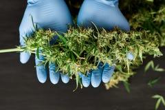 Un brote grande de la cosecha fresca del cáñamo en las manos de los conceptos de un trabajador médico del doctor de cultivación c foto de archivo libre de regalías