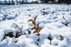 Un brote sale de la rama de árbol congelada cubierta con nieve Fotos de archivo libres de regalías