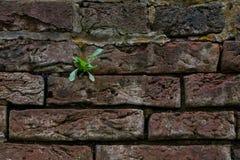 Un brote verde solitario en una pared de ladrillo Imagen de archivo libre de regalías