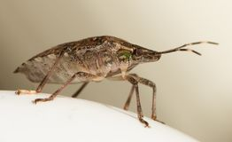 Un Brown marmorated el insecto del hedor, halys de Halyomorpha fotos de archivo libres de regalías