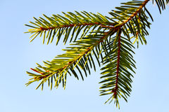 Un brunch d'arbre de sapin. Images libres de droits