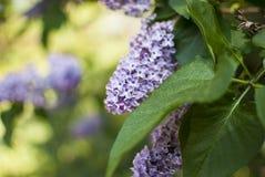Un brunch dei fiori lilla immagini stock libere da diritti
