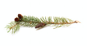 Un brunch del cono del pino Immagini Stock