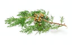 Un brunch del cono del pino Imagen de archivo libre de regalías