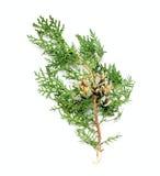 Un brunch del cono del pino Imágenes de archivo libres de regalías