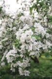 Un brunch del manzano floreciente Imágenes de archivo libres de regalías