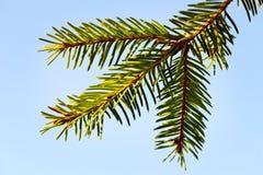 Un brunch dell'albero di abete. Immagini Stock Libere da Diritti