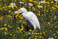 Un Bubulcus ibis del egret de ganado Imagen de archivo libre de regalías