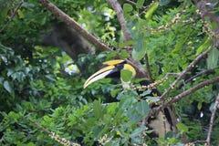 Un Bucerotidae selvaggio del bucero che si siede nell'albero su Pulau Pangkor, Malesia immagine stock