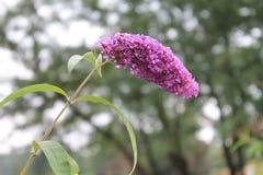 Un Buddleya púrpura magnífico invitar a amigos a la bola Un Buddleya púrpura magnífico en un fondo aislado fotografía de archivo libre de regalías