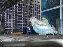 Un budgie variopinto sveglio ha una doccia Immagine Stock