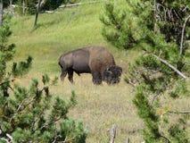 Un bufalo che pasce pacificamente nel parco nazionale di Yellowstone Fotografie Stock