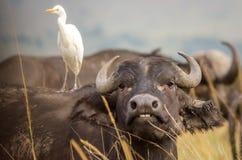 Un bufalo ci mostra i suoi denti mentre un'egretta considera fotografia stock