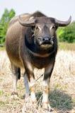 Un bufalo d'acqua Fotografia Stock Libera da Diritti