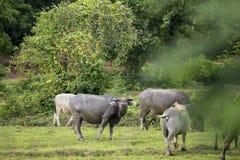 Un bufalo domandantesi Fotografie Stock Libere da Diritti