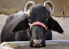 Un bufalo in India fotografie stock
