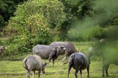 Un bufalo interrogante Immagine Stock