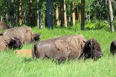 Un buffle et un jeune veau marchent par l'herbe grande Images stock