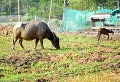 Un buffle mange l'herbe dans un domaine de riz image libre de droits