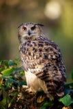 Un buho de águila Fotografía de archivo libre de regalías