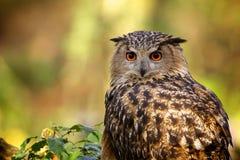 Un buho de águila Imagen de archivo