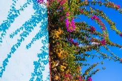 Un buisson avec les fleurs lilas rampant le long du mur photographie stock libre de droits
