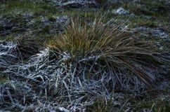 Un buisson d'herbe épaisse avec le gel épais pendant la nuit Photographie stock