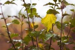 Un buisson de groseille par temps pluvieux avec des feuilles au lequel commence photos libres de droits