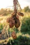 Un buisson de jeunes pommes de terre fraîches Photographie stock libre de droits