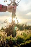 Un buisson de jeunes pommes de terre fraîches Images stock