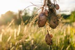 Un buisson de jeunes pommes de terre fraîches Image libre de droits