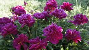 Un buisson des pivoines en pleine floraison Photo libre de droits