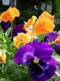 Un buisson mignon des fleurs de pensée Images stock
