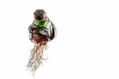 Un bulbo colgante Amaryllis con las raíces Fotos de archivo libres de regalías