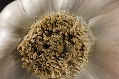 Un bulbo del ajo Una parte más inferior con las raíces Primer 1 Fotografía de archivo