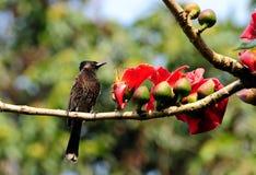Un Bulbul avec les fleurs rouges Images libres de droits