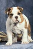 bulldog del cucciolo Fotografia Stock Libera da Diritti