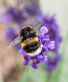 Un Bumblee rassemblant le pollen de la lavande Photographie stock libre de droits